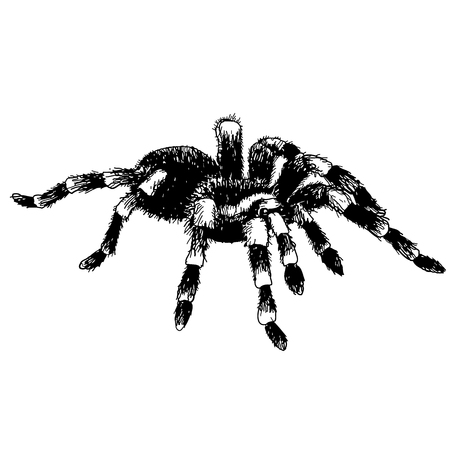 freehand sketch illustration of spider, doodle hand drawn