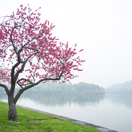 spring green: pink peach blossom flower tree along the Xihu lake at Hangzhou city in China