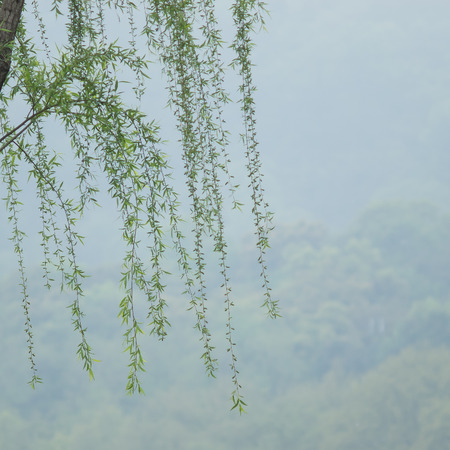 Chinese willow tree in the mist by the Xi Hu lake Stock Photo