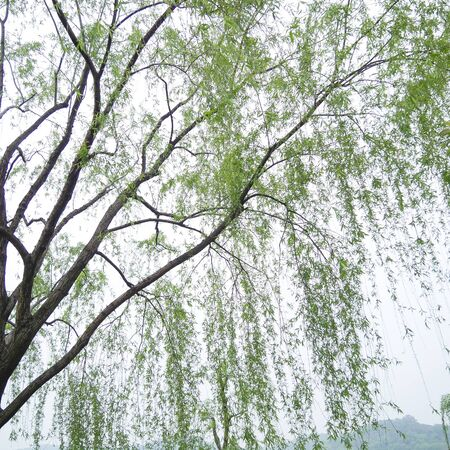 weeping willow tree: Chinese willow tree in the mist by the Xi Hu lake Stock Photo