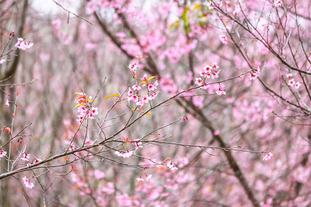 Beautiful cherry blossom flower and tree at Phu Lom Lo, Phitsanulok Thailand Stock Photo