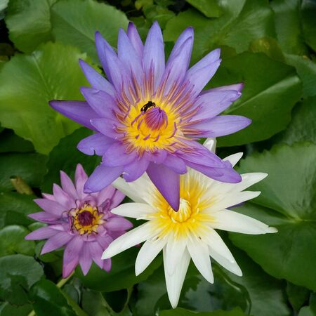 Beautiful purple waterlilly with insect in the middle taken from top view Stockfoto