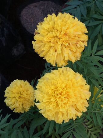 Beautiful yellow blooms of marigolds