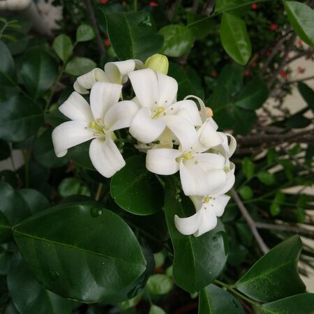 It is the picture of white flowers with dark green leaves in the garden.