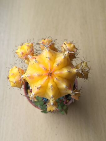 It is a beautiful yellow cactus planted in a house.