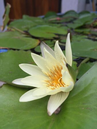 It is a beautiful pale yellow waterlily or lotus surrounded by big green leaves planted in big pot filled with water