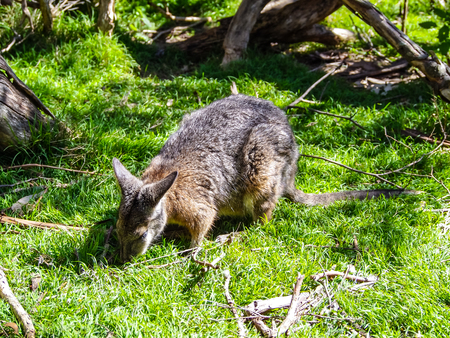 The red necked wallaby or Bennett´s wallaby eating grass in forest of Australia. Stock Photo