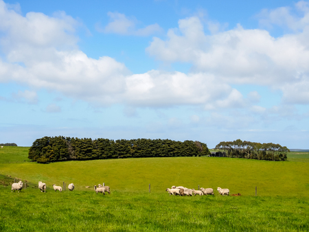 Nice view of Great Ocean Road, Australia - hills covered by green grass with herds of sheep with beautiful sky