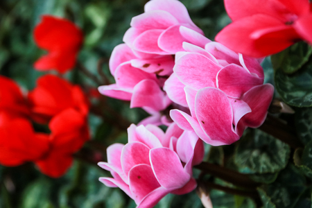 Beautiful pink and red cyclamen flowers with peculiar pattern on leaves, planted in a flower pot in a garden.