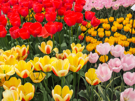 Red , yellow and pink tulips in field of flora park in The Netherlands, Holland. Keukenhof. Banco de Imagens