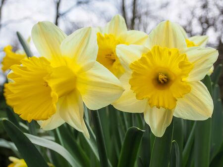 Daffodils (Narcissus) has conspicuous flowers with six petal-like tepals surmounted by a cup- or trumpet-shaped corona. It is the symbol of cancer charities in many countries.