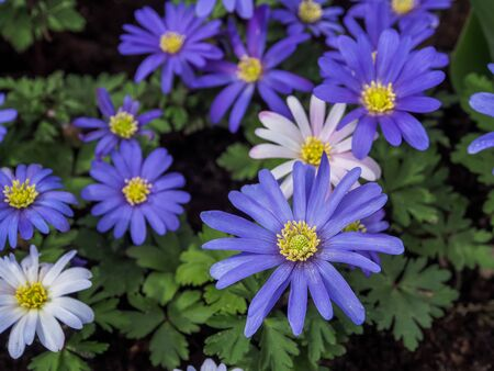 Purple flowers of Italian Asters, Michaelmas Daisy (Aster Amellus), known as Italian Starwort, Fall Aster, violet blossom growing in garden
