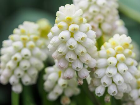 White spring flowers Muscari Grape hyacinth , use as nice background