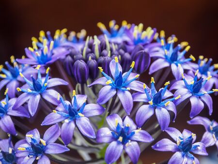 scilla peruviana gigantea. close up of blue flowers