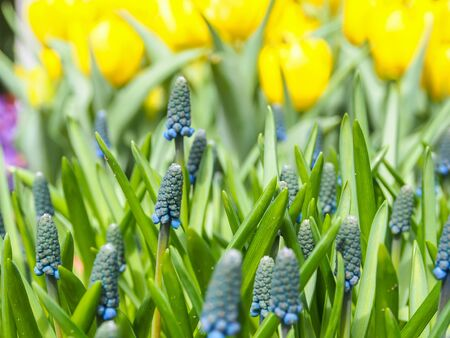 grape hyacinth flowers as nice spring background