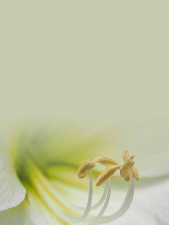 white lily flower with orange pollen made as abstract flower background illustration. Stok Fotoğraf