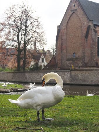 Swans in the city center. Brugge medieval historic city. Brugge streets and historic center, canals and buildings. Brugge popular touristic destination of Belgium.