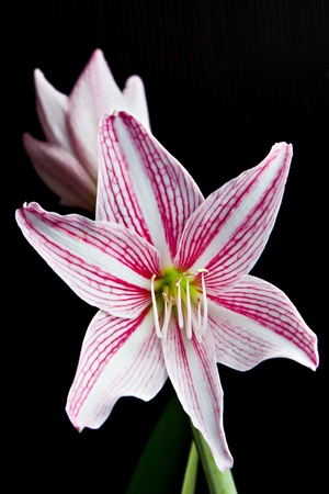 Pink lily in black background photo
