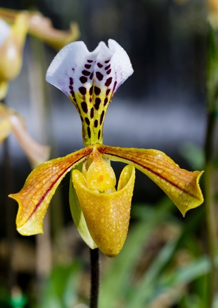 lady's slipper: ladys slipper yellow orchid.