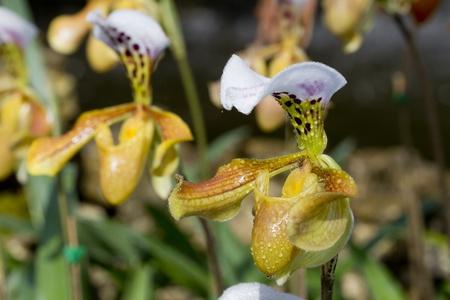 ladys slipper yellow orchid.  photo