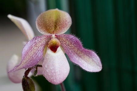 lady's slipper: ladys slipper pink orchid Paphiopedilum