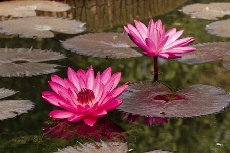 Beautiful water lily blooming. photo