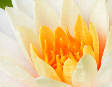 Beautiful water lily blooming  photo