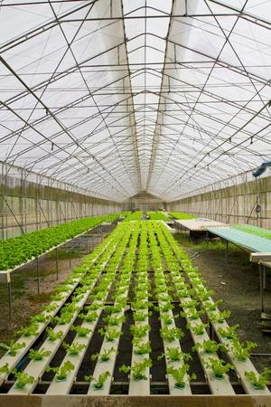 greenhouses: Hydroponic farm.