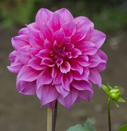 Dahlia flower growing in the garden  photo