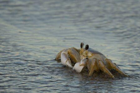 Atlantic ghost crab on the beach at Canaveral National Seashore, Florida