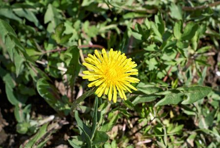 greengrass: Yellow dandelion over head with lots of detail up close and green behind in spring light. Stock Photo