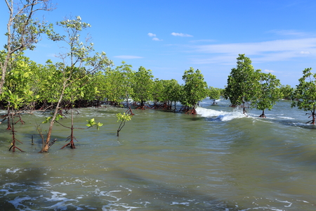 mangroves: Mangroves Stock Photo