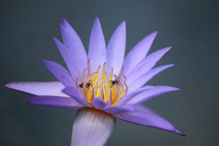 purple lotus: Purple Lotus Stock Photo