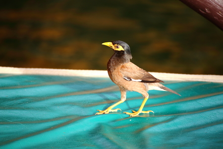 black feathered: Common Myna  Acridotheres tristis