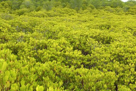 prong: Mangrove trees of Prong Thong forest Stock Photo