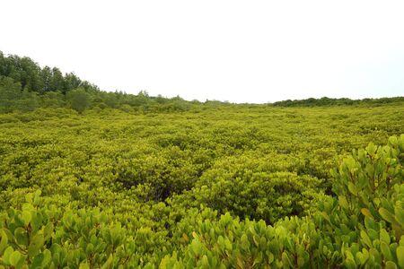 riek: Mangrovebomen van Prong Thong bos Stockfoto