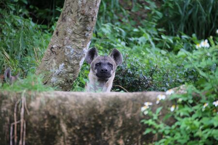 hienas: Hienas Foto de archivo