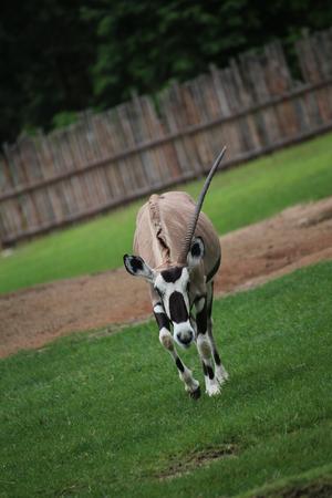 less: Oryx less horn