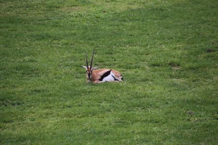 gazelle: Thomsons gazelle
