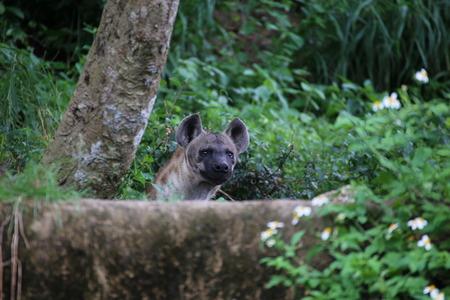 iene: Hyenas Archivio Fotografico