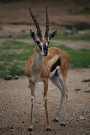 tanzania antelope: Thomsons gazelle