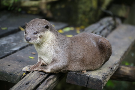 sea otter: Otters Stock Photo