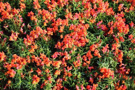 plantaginaceae: snapdragon antirrhinum