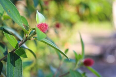 burchell: Combretum erythrophyllum Stock Photo