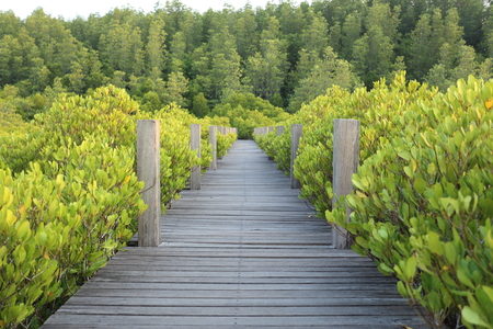 Mangrove trees of Thung  Prong Thong forest in Rayong at Thailand Stock Photo