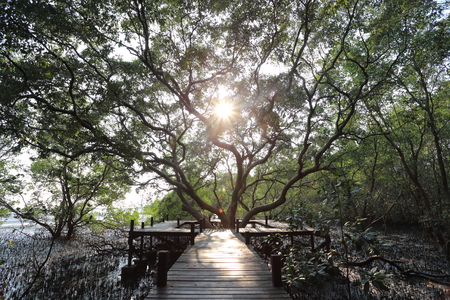 prong: Big Mangrove trees of Thung  Prong Thong forest in Rayong at Thailand