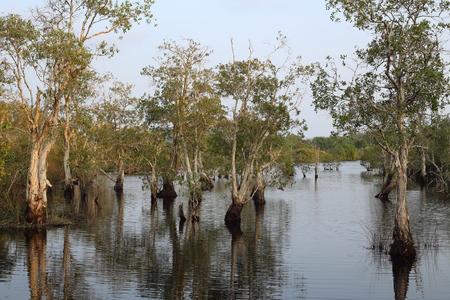 Melaleuca trees Wetland in Rayong Thailland