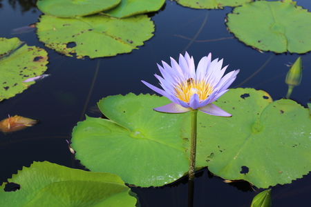 Purple Lotus in Wetland at Rayong Thailland