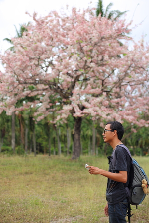 the pampas: Man and Pink Pantip blossom flowers on the tree in Rayong at Thailand