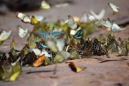 sa: Butterflies swarm eats minerals in Pang Sida National Park at Thailand